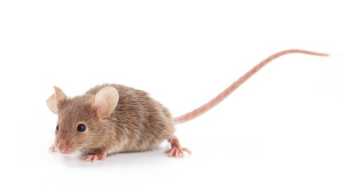 rodent control glasgow 500x280 - Rodent Infestations: Signs to Look Out For