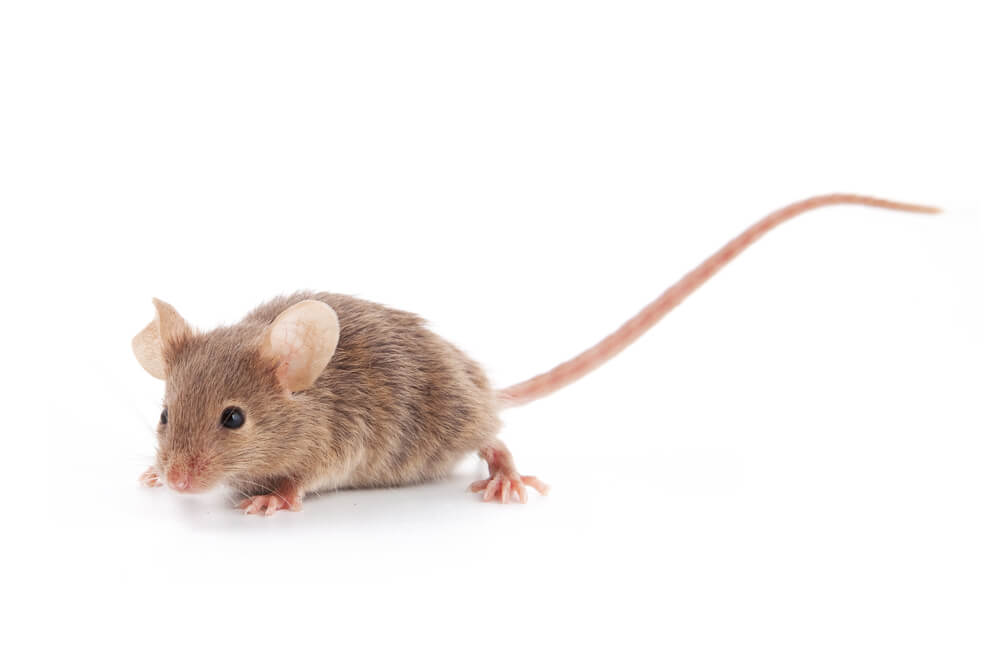 rodent control glasgow - Rodent Infestations: Signs to Look Out For