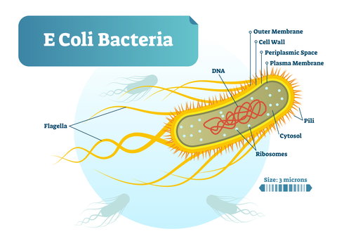 Depositphotos 195194326 s 2015 - E Coli bacteria micro biological vector illustration cross section labeled diagram. Medical research information poster.
