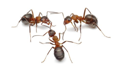 ants removal edinburgh 1 500x280 - The Problems Associated with Ant Infestations