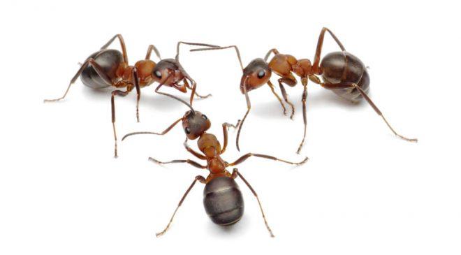 ants removal edinburgh 1 660x365 - ants-removal-edinburgh-1