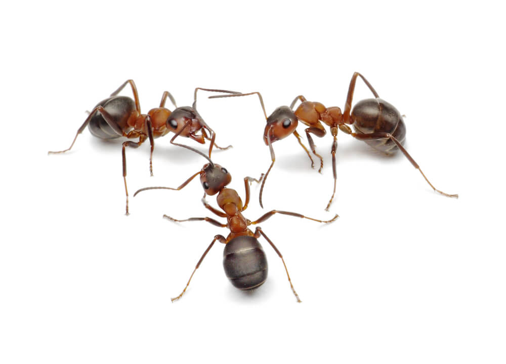ants removal edinburgh 1 - The Problems Associated with Ant Infestations